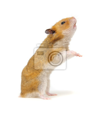 Hamster in a funny pose isolated on white