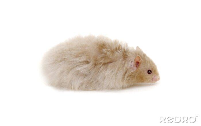 Fototapeta Hamster isolated on white background
