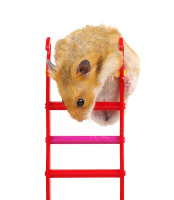 Fototapeta Hamster on the toy stairs