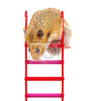 Hamster on the toy stairs