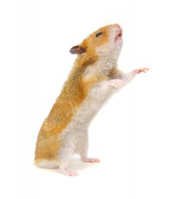 Hamster standing on its hind legs isolated on white