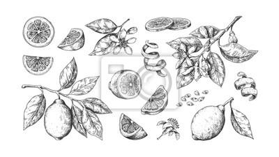 Fototapeta Hand drawn lemon. Vintage lime orange or lemon fruits blossom and branches for juice label. Vector black ink outline food sketch illustrations with juicy piece and peel fruit for health fresh drinks