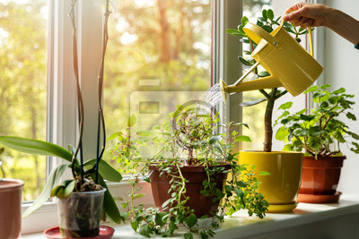 Fototapeta hand with water can watering indoor plants on windowsill