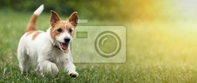 Fototapeta Happy active jack russel pet dog puppy running in the grass in summer, web banner with copy space