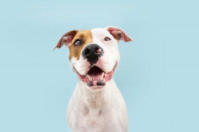 Fototapeta Happy American Staffordshire dog smiling. Isolated on blue background