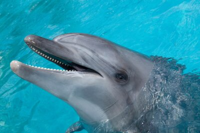 Fototapeta Happy Dolphin Smiling w Blue Water