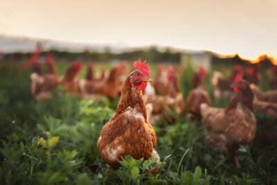 Fototapeta happy free range chicken in the meadow