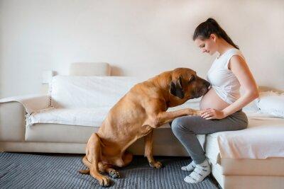 Fototapeta Happy pregnant woman with big dog breed fila brasileiro in home