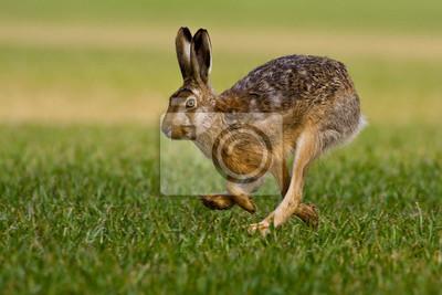 Fototapeta hare is running in the beautiful light on green grassland,european wildlife, wild animal in the nature habitat, , lepus europaeus.