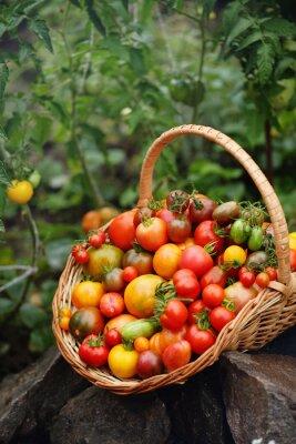 Fototapeta harvest of tomatoes in a basket