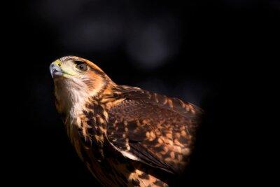 Hawk, Argentyna