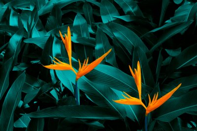 Fototapeta Heliconia psittacorum or Heliconia Golden Torch or False Bird of Paradise Flower. tropical flowers in the jungle garden with leaves background.