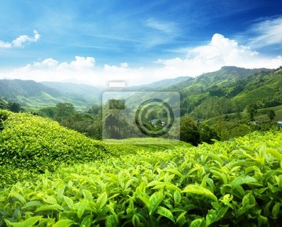 Herbata plantacji Cameron Malezji