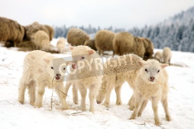 Fototapeta Herd of sheep skudde with lamb eating the hay meadow covered with snow  Winter on the farm