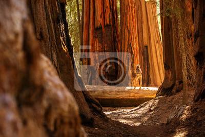 Fototapeta Hiker in Sequoia national park in California, USA