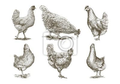Fototapeta Hodowla kurczaka. hodowla zwierząt. Szkice wektorowe na białym tle
