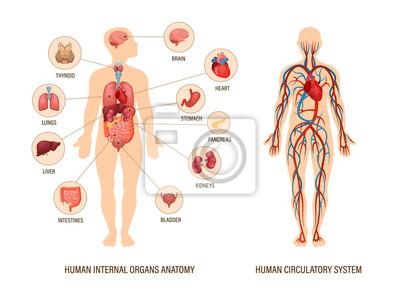 Fototapeta Human body anatomy infographic of structure of human organs
