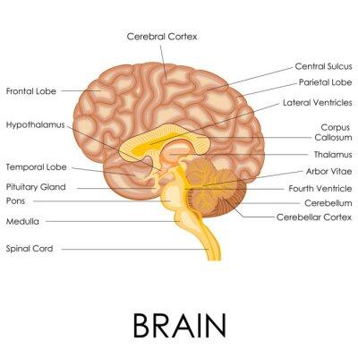 Fototapeta Human Brain Anatomy