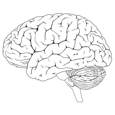 Fototapeta Human Brain BW