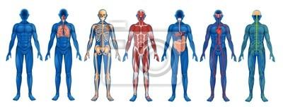 Fototapeta Human Systems ciała