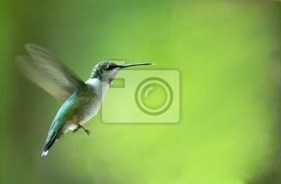 Fototapeta Hummingbird