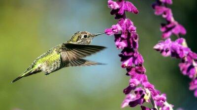 Fototapeta Hummingbird Anny w locie, purpurowe kwiaty, picia nektaru