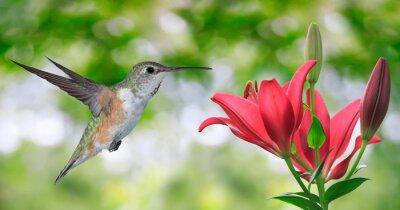 Fototapeta Hummingbird (archilochus Colubris) Latanie na zielonym tle