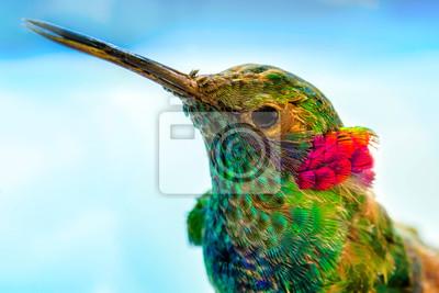 Fototapeta hummingbird close-up portrait, macro feather detail