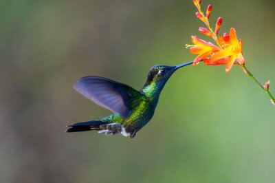 Fototapeta Hummingbird Long-tailed Sylph, Aglaiocercus kingi with orange flower, in flight. Hummingbird from Colombia in the bloom flower, wildlife from tropic jungle.