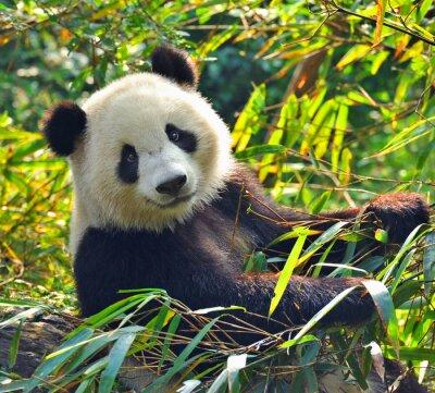 Fototapeta Hungry giant panda bear jedzenia bambusa
