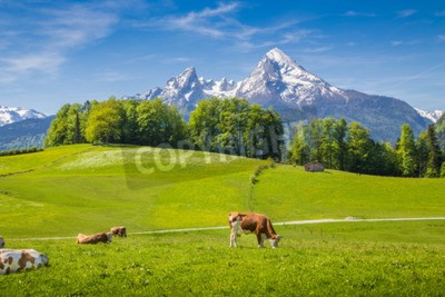 Fototapeta Idyllic summer landscape in the Alps with cow grazing on fresh green mountain pastures and snow capped mountain tops in the background, Nationalpark Berchtesgadener Land, Upper Bavaria, Germany