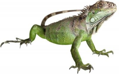 Fototapeta Iguana, Jaszczurka, Gad.