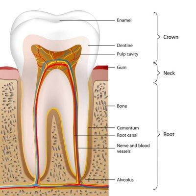 Fototapeta Ilustracja ząb anglojęzyczny opis 1 z 5