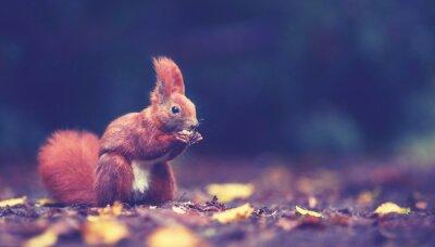 Fototapeta Im Herbst - Eichhörnchen mit Nüssen