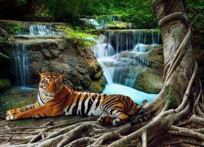 Fototapeta Indochiny tygrys leżący o relaks pod banyantree przeciwko BEA
