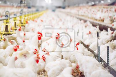 Fototapeta Indoors chicken farm, chicken feeding