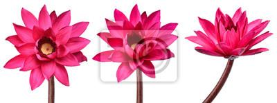 Fototapeta Inkasowy Czerwony Lotosowy kwiat odizolowywający na białym tle