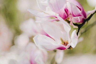 Fototapeta Inspirujące Magnolienblüte