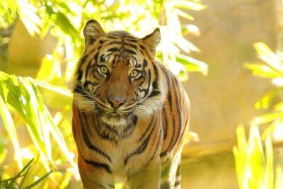 Fototapeta Intensywne oczy nadjeżdżającego Tygrys w tropikalnej dżungli.