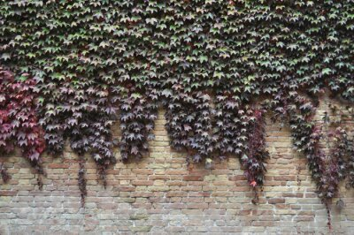 Fototapeta Ivy roślin na ścianie