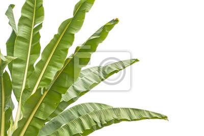 Izolować szczyt drzew bananowych, które mają duże liście.