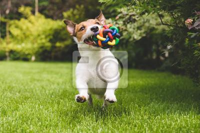 Fototapeta Jack Russell uruchomiony z kolorowych piłkę