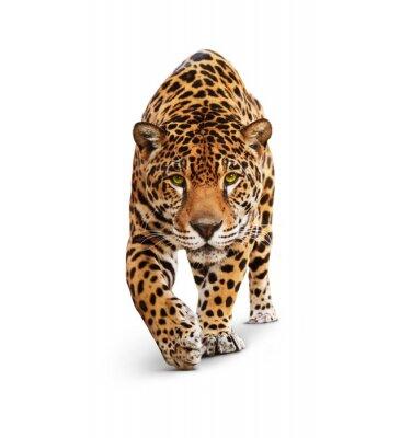 Fototapeta Jaguar - widok z przodu zwierzęcia, na białym tle, cień