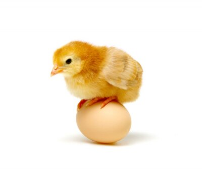 jajko i kurczak