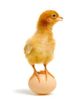 Fototapeta jajko i kurczak