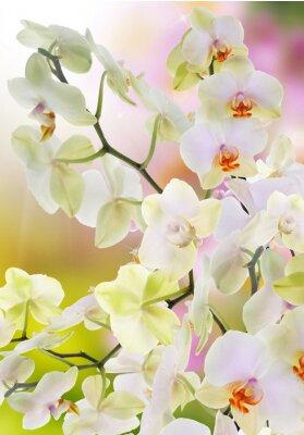 Fototapeta Japoński Orchid