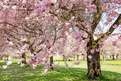 Fototapeta Japoński wiśniowe, wiosna przebudzenie, gratulacje, wszyscy kochamy: Cudowny wiśnia na wiosnę :)