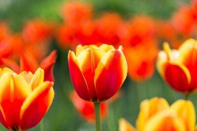 Fototapeta jasne kwitnące kolorowe kwiaty tulipanów w ogrodzie