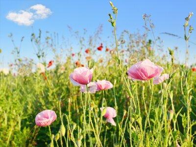 Fototapeta Jasny czerwony kwiat maku pole w lecie