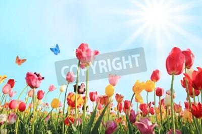 Fototapeta Jasny, słoneczny dzień w maju z pola tulipanów w różnych kolorach